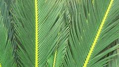 Sago palm (dinesh_valke) Tags: flora cycas cycadaceae tender perennial tropicals perennials sagopalm sagocycas cycasrevoluta sotetsu cycadfamily cycasmiquelii varbrevifrons varplanifolia varprolifera varrobusta japanesesagopalm kingsago kingsagopalm dv50