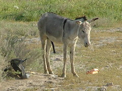 Happy Donkey (HenryJScott) Tags: animal war desert iraq middleeast donkey rifles soldiers boner guns marines erection combat troops iraqi oif operationiraqifreedom henryscott assiraq