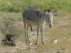 Happy Donkey (HenryJScott) Tags: animal war desert iraq middleeast donkey rifles soldiers boner guns marines erection combat troops iraqi oif operationiraqifreedom henryscott assiraq