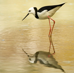 Poaka or Pied Stilt (f0rbe5) Tags: newzealand white black bird topf25 wow 350d rotorua flat 2006 100v10f northisland pan geology pied geothermal aotearoa stilt waiotapu frying leucocephalus helluva himantopus supershot piedstilt cotcpersonalfavorite awesomenature specnature 35faves poaka specanimal himantopusleucocephalus animalkingdomelite fryingpanflat impressedbeauty superaplus helluvawinner favemegroup7 diamondclassphotographer flickrdiamond naturewatcher distinguishedbirds distinguishedbird