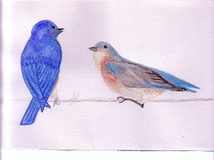 bluebirdpair