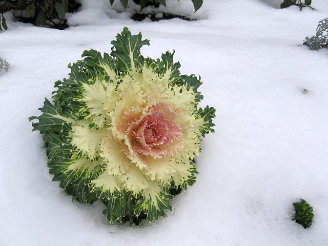 snow_plant