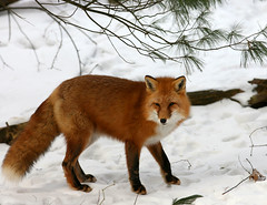 Red fox (The Roaming Ranger) Tags: winter red animal bravo wildlife newhampshire nh fox blogged redfox vulpesvulpes instantfave specanimal abigfave nhphototour lmaoanimalphotoaward iwaspikdinpikapic