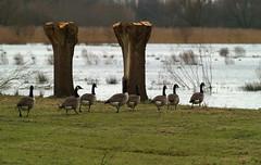 In ganzenpas - goose step (nikjanssen) Tags: nature birds vogels natuur goose ganzen