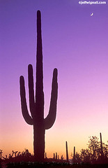 Saguaro Cactus at Twilight, Tucson, Arizona with Crescent Moon (Jeff Wignall) Tags: sunset arizona cactus plants twilight desert tucson saguaro botany wignall saguarocactus cresentmoon anawesomeshot cactisucculentsbulbplants nikonfm2camera