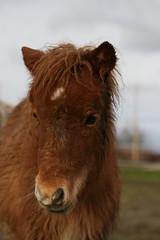 IMG_0360 (svadilfari175) Tags: horses horse star little pony stern shetland fuchs sorrel rauð stjörnu