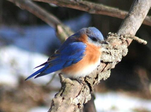eastern bluebird 03