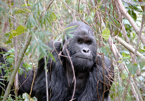 Congo : Mountain Gorilla #1