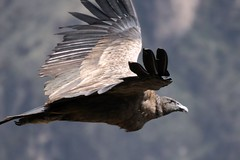 Condor at Colca Canyon Peru (nospuds) Tags: peru geotagged condor colca colcacanyon andeancondor vulturgryphus geo:lat=1560715 geo:lon=7189299 taxonomy:binomial=vulturgryphus