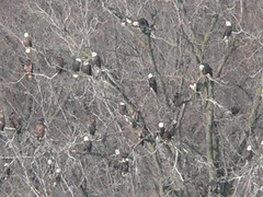 Bald Eagles - by Birdfreak.com