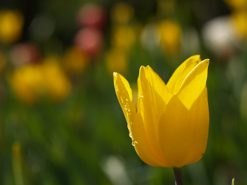 p2092527 tulip (by plateaukao)