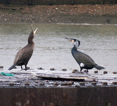 Cormorants on the Thames