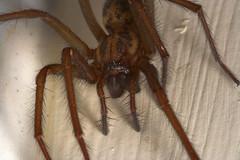 "Spider (Tegenaria gigantea) • <a style=""font-size:0.8em;"" href=""http://www.flickr.com/photos/57024565@N00/390088660/"" target=""_blank"">View on Flickr</a>"