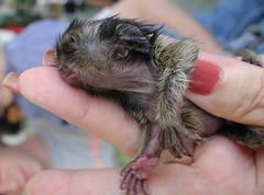 Baby Marmoset Monkey (Scott Kinmartin) Tags: baby pets monkey marmoset pygmy babymonkey aplusphoto marmosetmonkey callitrichid pygmeymarmoset