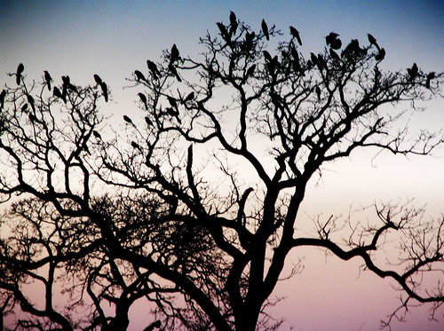 Grackles on a Tree