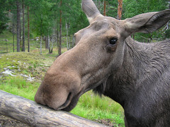 In contact with a young Elk (Bn) Tags: topf25 norway wonderful topf50 moose elk topf100 soe eland noorwegen fl bearpark deerfamily blueribbonwinner hallingdal valdres 100faves 50faves 35faves fineartphotos 25faves specanimal kingoftheforest animalkingdomelite angelinajolielips impressedbeauty diamondclassphotographer valentinekisses vassfaretbjrnepark betterthangood theperfectphotographer goldstaraward forestvalley wenorway sweetmoose sweetyoungelk