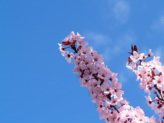 P2183524.JPG (vajra) Tags: pink blue trees sky white tree skies plum plumblossom plumblossoms