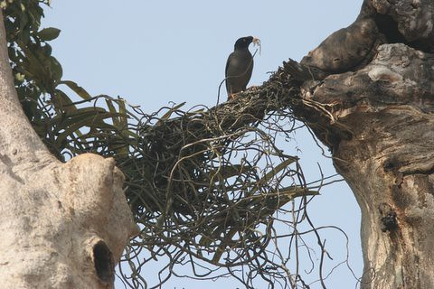 the Mynah closer to the nest (10)