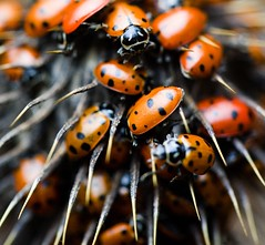 Together (Thomas Hawk) Tags: california city usa topf25 bug insect oakland unitedstates fav50 10 unitedstatesofamerica beetle fav20 ladybird ladybug eastbay ladybugs beetles fav30 ladybirds ladybeetles coccinellidae fav10 fav25 fav40 fav60 superfave