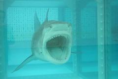 Shark Attack (Kecko) Tags: fish art geotagged austria shark kunst damien kecko bregenz fisch hai ausstellung 2007 hirst vorarlberg haifisch exihition geo:lat=47504983 geo:lon=9747308 hirstsshark