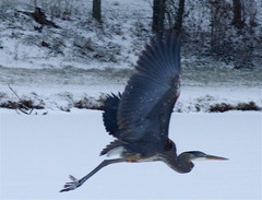 For Gail, a Great Blue Heron.... (mightyquinninwky) Tags: blue snow cold bird heron geotagged frozen flying inflight 5 kentucky award windy waterbird lakeside explore blueheron waterfowl invite frozenlake 1on1 snowyday peopleschoice naturesfinest naturesart featheryfriday thebeautyinlife giantblueheron fayettecountykentucky twtme simplyelegant centralkentucky avianphotography commonwealthofkentucky qemdfinch flickrhearts ~elegance~ jacobsonlake welovecomments avianexcellence excellenceinavianphotography globalvillage2 eiap lunarvillage thenaturegroup 1favoritegroup thebluegrassstate 6f100v2c 123favorites1to49 kentuckyfauna kentuckywaterbirds onlyafewopeninginthewater geo:lat=37991191 geo:lon=84431906 gpswildlife exploreformyspacestation bestofformyspacestation