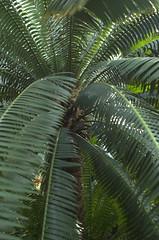 Palm, Tropical Pavilion, BBG