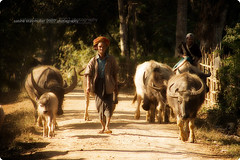 cattle drovers (*Sabine*) Tags: travel men asia asien burma myanmar birma waterbuffalos wasserbffel utatafeature abigfave thityarbin cattledrovers year:uploaded=2007 auswahl:jahr=2007 burmah2006 sabinesteinmller
