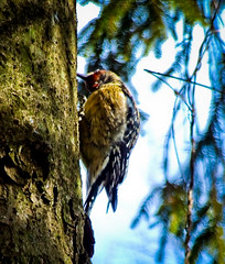 Searching For Food III (mightyquinninwky) Tags: bird spring woodpecker kentucky lexingtonkentucky urbanwildlife frontyard hairywoodpecker fontaineroad chevychasearea fayettecountykentucky centralkentucky thebluegrassstate