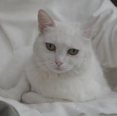 Katze (schreibtnix on'n off) Tags: white animal cat tiere katze weiß olympuse1