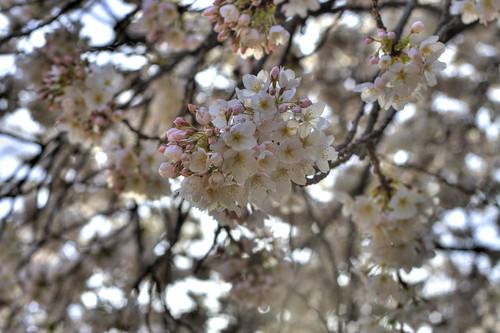 Yoshino Cherry in Bloom