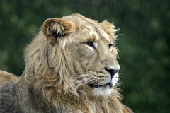 Lion in the Rain (Ian Hayhurst) Tags: rain lion cotswoldwildlifepark specanimal stockthepark