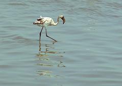 Flamingo juvenile