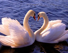 . . . L O V E . . . Heart of swans (Kursiv) Tags: sun love beautiful birds norway canon wow eos swan wings heart swans svaner kursiv naturesfinest blueribbonwinner svane 50faves interestingness51 400d canoneos400d p1f1 superaplus aplusphoto wowiekazowie