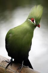 [フリー画像] [動物写真] [鳥類] [エボシドリ]        [フリー素材]