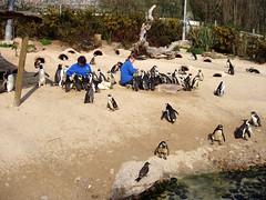Feed the penguins! (ExeDave) Tags: england southwest birds zoo penguin coast devon aviary torquay captive livingcoasts torbay africanpenguin spheniscusdemersus jackasspenguin gentoopenguin pygoscelispapua