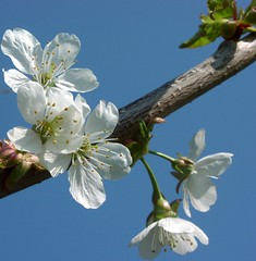 White on blue (Kirsten M Lentoft) Tags: blue sky white flower tree momse2600 kirstenmlentoft