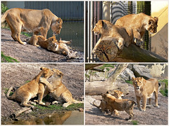4x playing (heavenuphere) Tags: baby netherlands zoo rotterdam blijdorp europe lion nederland dierentuin zuidholland southholland