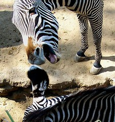 Can you hear me now?? (Twitchietai) Tags: motif tongue stripes teeth ears dirt winner zebra lengua bite z mane losangeleszoo hooves superbmasterpiece flickrchallengewinner tartyshots