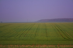 Purple Haze (TheLizardQueen) Tags: england green field march countryside spring wheat farming tracks crops agriculture hertfordshire