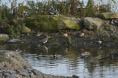 Anglers Country Park (380) (rs1979) Tags: anglerscountrypark wintersett ryhill walton wakefield westyorkshire yorkshire birdhide teal lapwing lapwings