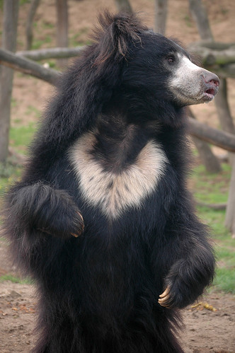 wild animals of different sloth bears information