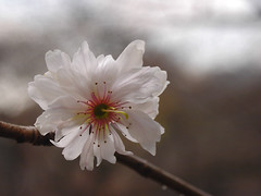 Winter cherry blossom (stephen_pix) Tags: white plant flower macro japan closeup cherry tokyo shinjuku  sakura shinjukugyoen cerasus 10faves 250v10f impressedbeauty ohwi