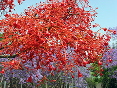 Flowers of the Flame Tree in Herberton Brachychiton Acerifolius (emblatame (Ron)) Tags: flowers red tree beautiful rainforest native malvaceae flametree nativeplants athertontablelands sterculiaceae brachychitonacerifolius brachychiton herberton australianplants illawarraflametree australianrainforestplants australianrainforesttrees
