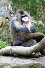 Mandrill at San Francisco Zoo (dbillian) Tags: sf sanfrancisco animal animals zoo monkey monkeys sanfran damon primate mandrill zoos primates mandrills damonbillian billian