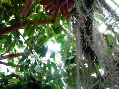 Spanish Moss (sundaygray) Tags: pittsburgh florafauna phippsconservatory