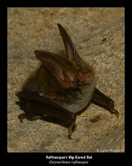 Rafinesque's Big-Eared Bat in a Cave in Tennessee (Explore) (Lynn Roebuck) Tags: nature animals flying wildlife bat mammals animalplanet zoology catchlight chiroptera vespertilionidae cavevisitor caverscavescavingphotoscccp rafinesquesbigearedbatinacaveintennessee rafinesquii batsinstateparks roebuck
