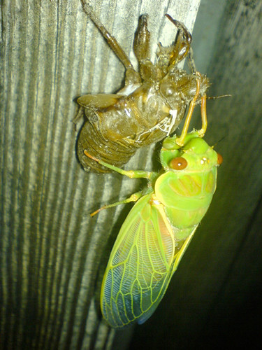 cicada11