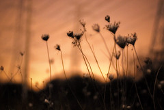 Field_Flowers (Joel Bedford) Tags: sunset toronto photoshop bedford evening design photo soft joel calm processing serene jab lightroom treatment jalex rosesky jalexphoto jbedford joelbedford jbedfordphoto
