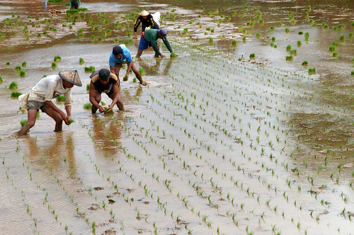 farm farming rice farmer worker rice planting seedling luisisana laguna Pinoy Filipino Pilipino Buhay  people pictures photos life Philippinen  菲律宾  菲律賓  필리핀(공화국) Philippines,rural
