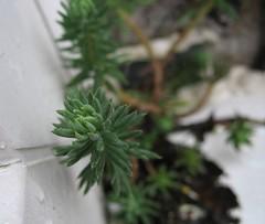 Door Plant ? (andrewlee1967) Tags: uk england plant macro weed bokeh canonpowershot dontknowwhatitis andrewlee instantfave p1f1 andrewlee1967 heluva bohehlicious doorplant andylee1967 focusman5